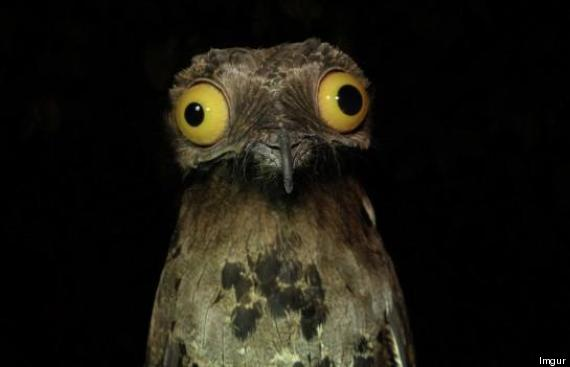 potoo-weird-funny-bird-big-eyes-stare