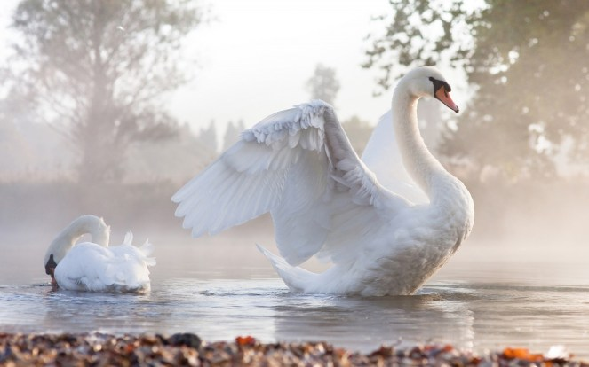 cool-swan-bird-free-hd-wallpapers-download-04