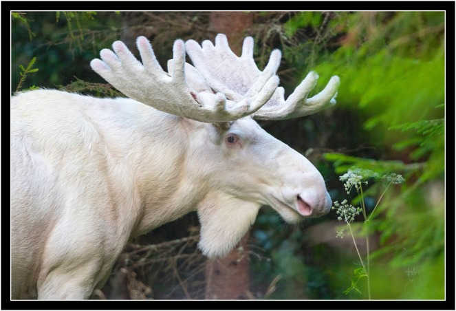 white-moose-close-up-lasse-dybdahl