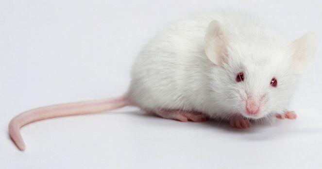 White-mouse