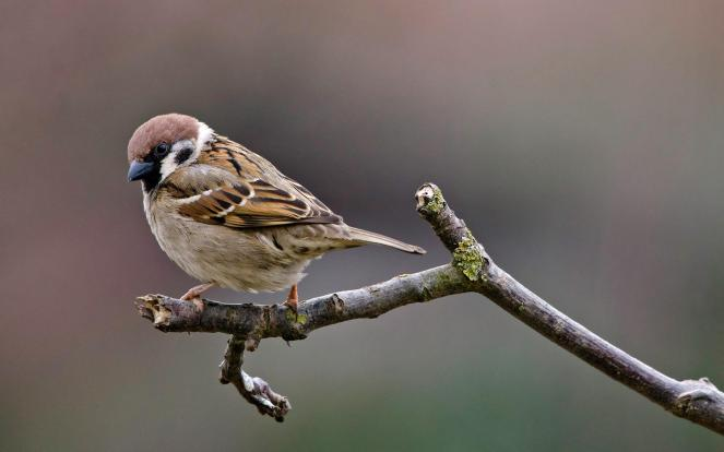 Tree_Sparrow-Moineau_friquet
