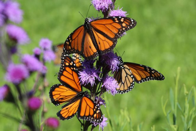 Monarch butterfly trio on Liatris ligulistylis