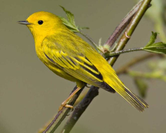 yellow-warbler-wallpapers-25681-5896897